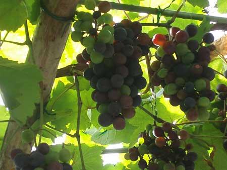 Grapesgranpa_1